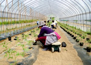 家族ボランティアによるトマト定植