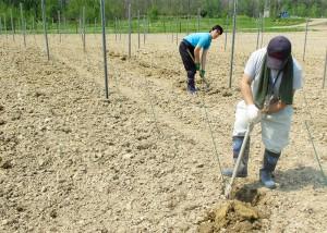 ぶどう定植作業